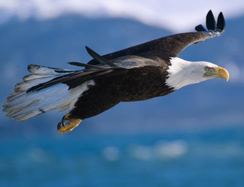 bald-eagle-flight1